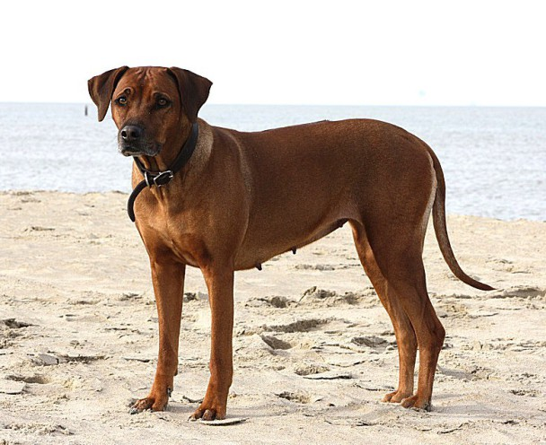 Rhodesian Ridgeback Zuchthündin im Kennel of Highland Cottage VDH/FCI