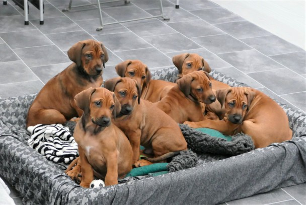 Rhodesian Ridgebacks of Highland Cottage Verpaarung D-Wurf